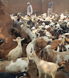 Your Qurbani in Malawi